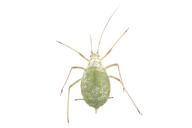 Macrosiphum albifrons : adulte aptère