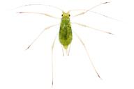 Macrosiphum euphorbiae: adulte aptère vert
