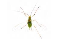 Macrosiphum euphorbiae : adulte ailé vert
