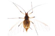 Macrosiphum funestum : adulte ailé