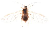 Melanaphis pyraria : adulte ailé