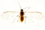 Myzaphis rosarum : adulte ailé