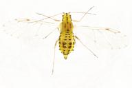 Myzocallis castanicola : adulte ailé