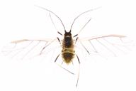 Myzus ascalonicus : adulte ailé