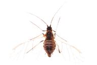 Myzus cymbalariae : adulte ailé