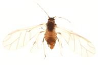 Myzus langei : adulte ailé