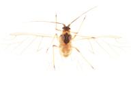 Ovatus mentharius : adulte ailé