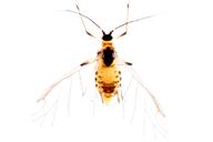 Phorodon humuli : adulte ailé
