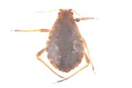 Pterocomma pilosum : adulte aptère