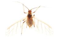Rhodobium porosum : adulte ailé