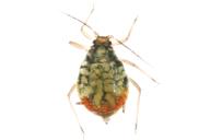 Rhopalosiphum padi : adulte aptère