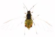 Rhopalosiphum padi : adulte ailé