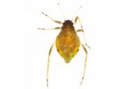 Schizolachnus pineti : adulte aptère