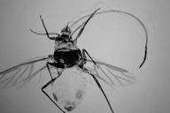 Stomaphis graffii : adulte ailé