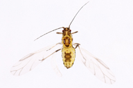 Subsaltusaphis picta : adulte ailé