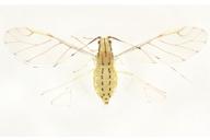 Takecallis arundinariae : adulte ailé