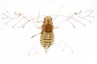 Therioaphis trifolii : adulte ailé
