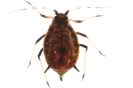 Toxoptera aurantii : adulte aptère