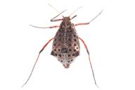 Tuberolachnus salignus : adulte aptère