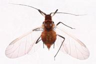 Metopeurum fuscoviride : adulte ailé
