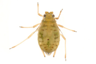 Myzus ornatus : adulte aptère