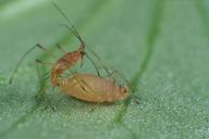 Acyrthosiphon pisum : accouplement, mâle aptère et ovipare aptère