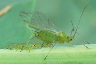 Acyrthosiphon pisum : adulte ailé et ses larves