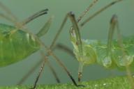 Acyrthosiphon pisum : tête, cauda et cornicules de profil