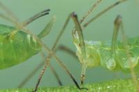 taxonomie, morphologie, cycles biologiques, mode de dispersion, alimentation