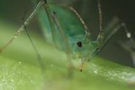 Acyrthosiphon pisum : tête vue de face