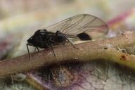 Anoecia corni, adulte ailé sur cornouiller