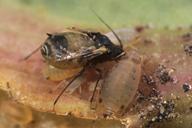 Anuraphis subterranea, adulte ailé (ailes cassées)