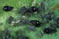 Aphis craccivora : adultes aptères noirs, brillants