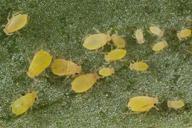 Aphis nasturtii, colonie sur féverole