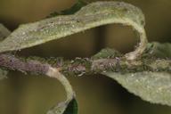 Aphis pomi, colonie sur pommier