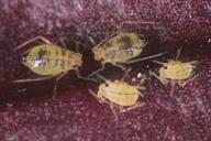 Aulacorthum circumflexum : adultes aptères