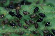 Brachycaudus populi : colonie