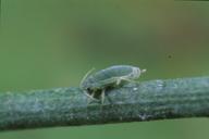 Brachycorynella asparagi : adulte aptère