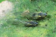 Capitophorus hippophaes : adultes ailés