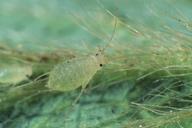 Chaetosiphon fragaefolii : adulte aptère