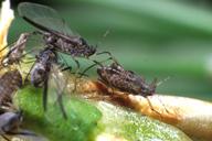 Cinara acutirostris : adultes ailés et une nymphe