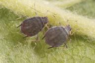 Dysaphis plantaginea : adultes aptères