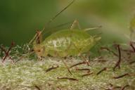 Acyrthosiphon malvae : adulte aptère