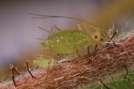 Acyrthosiphon malvae : adulte aptère et larve