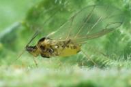 Acyrthosiphon primulae : adulte ailé