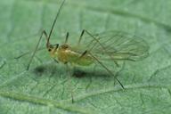 Amphorophora idaei : adulte ailé