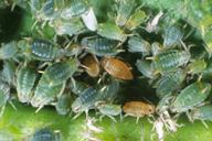 Aphis farinosa : colonie