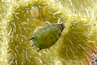 Aphis gossypii, adulte aptère