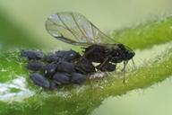 Aphis hederae : adulte ailé et colonie