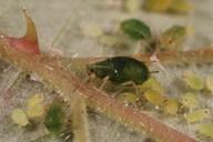 Aphis ruborum : adulte aptère